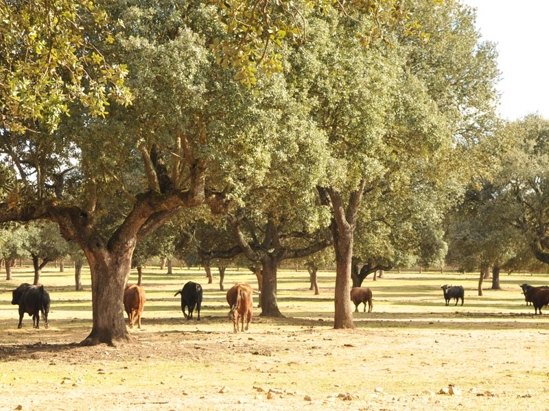 A weekend in Salamanca countryside, Iberian pork and bulls 1